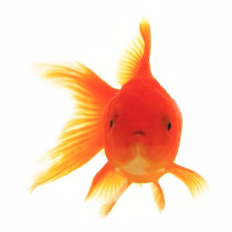 Goldfish Now Have Better Attention Spans Than We Do