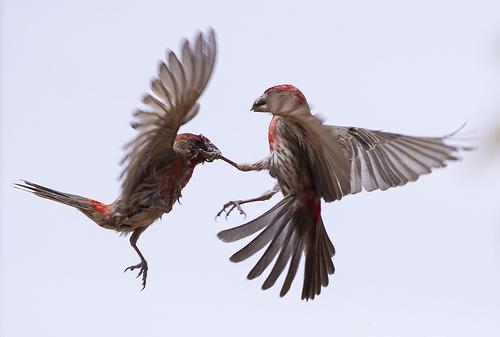 bird fight