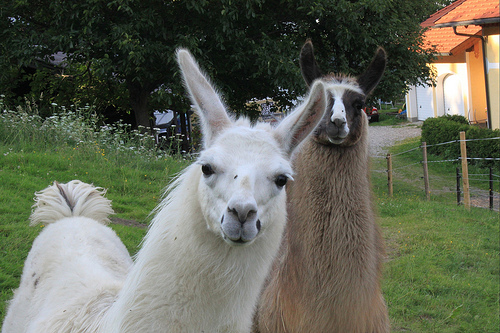 Workplace Lulz: Hungry Llamas Are Your Corporate Spirit Animal