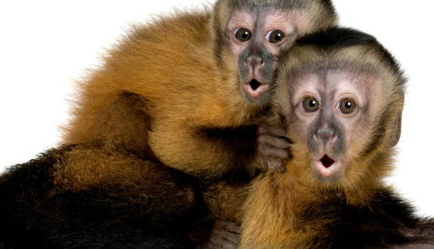 header_Snackable_CapuchinMonkeys